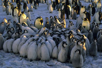 Emperor Penguin Chicks by Wolfgang Kaehler