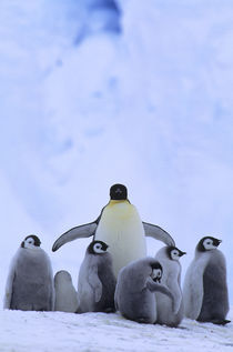 Emperor Penguin with Chicks by Wolfgang Kaehler