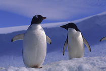 Gentoo Penguin and Adelie Penguin by Wolfgang Kaehler