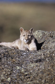 Wild Puma cub 2  by Simon Littlejohn