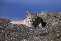 Wild Puma cub 3 by Simon Littlejohn
