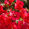 Red-flowers-of-pollensa