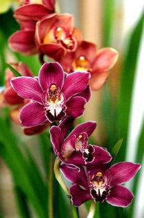 Orchid02 von Rafa Salafranca