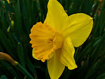 Daffodil 2 by Deborah Willard