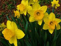 Golden-daffodils