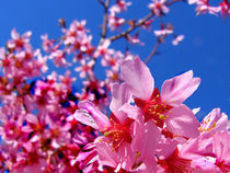 Cherry-blossoms-and-blue-sky