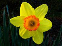 Daffodil 1 by Deborah Willard