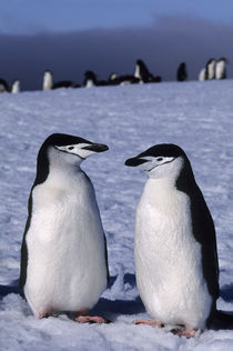 Chinstrap Penguins by Wolfgang Kaehler