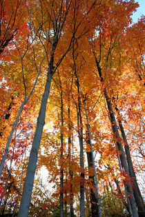 Fall Forest by Ian C Whitworth