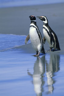 Magellanic penguins on beach by Wolfgang Kaehler