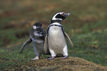 Magellanic penguin with chicks by Wolfgang Kaehler