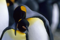 King Penguins by Wolfgang Kaehler