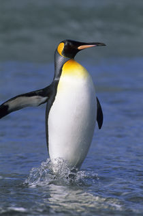 King Penguin by Wolfgang Kaehler