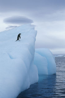 Adelie Penguin on iceberg by Wolfgang Kaehler
