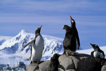 Gentoo Penguins by Wolfgang Kaehler