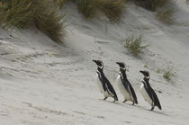Magellanic penguins by Wolfgang Kaehler