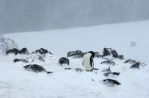 Adelie Penguins in snow storm by Wolfgang Kaehler