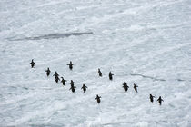 Adelie Penguins on icefloe by Wolfgang Kaehler