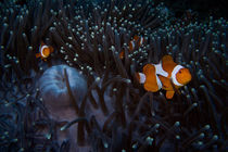 Anemone fish by Andreas Müller
