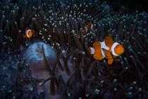 Anemone fish von Andreas Müller