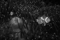 Anemone fish - black&white von Andreas Müller