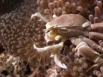 Anemone Crab von Andreas Müller