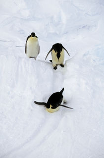 Sliding Emperor Penguins by Wolfgang Kaehler