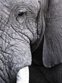 South Africa: Kruger National park. African Elephant bull close-up. Black and White by Yolande  van Niekerk