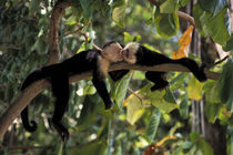 Kissing Monkeys by Wolfgang Kaehler