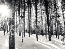 Black & White Forest von Vincent Demers