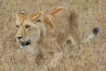 Lioness stalking von Andreas Müller