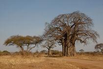 Baobab von Andreas Müller