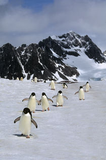 Adelie Penguins Walking by Wolfgang Kaehler