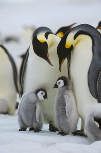 Emperor Penguins with Chick von Wolfgang Kaehler