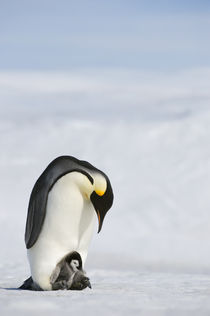 Emperor Penguin with Chick on Feet von Wolfgang Kaehler