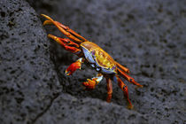 SALLY LIGHT-FOOT CRAB von Wolfgang Kaehler