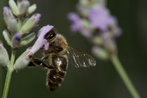Lavender bee von Andreas Müller