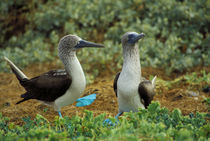 Blue-footed boobies by Wolfgang Kaehler