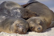 Galapagos Sea Lions Sleeping by Wolfgang Kaehler