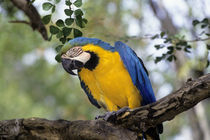 BLUE AND YELLOW MACAW by Wolfgang Kaehler