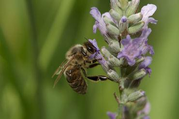 Lavendar-bee-2