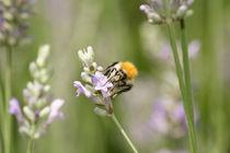 Lavendar-bee-3