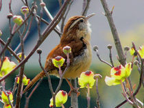Wren Sings of Spring by Deborah Willard