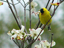 Goldfinch and Dogwood Blossoms von Deborah Willard