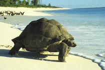 Tortoise on White Sand Beach by Wolfgang Kaehler