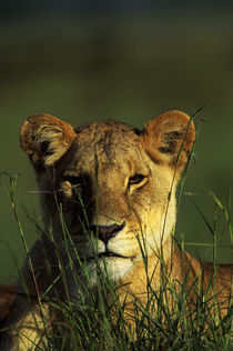 Portrait of Lioness by Wolfgang Kaehler