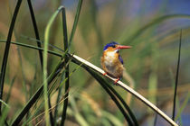 MALACHITE KINGFISHER PERCHED ON REED von Wolfgang Kaehler