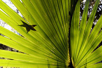 Palmetto Palm Leaf by Wolfgang Kaehler