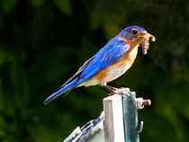 Bluebird Gets the Worm by Deborah Willard