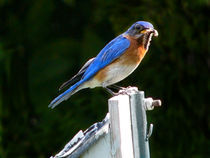 Bluebird with Worm in Beak by Deborah Willard